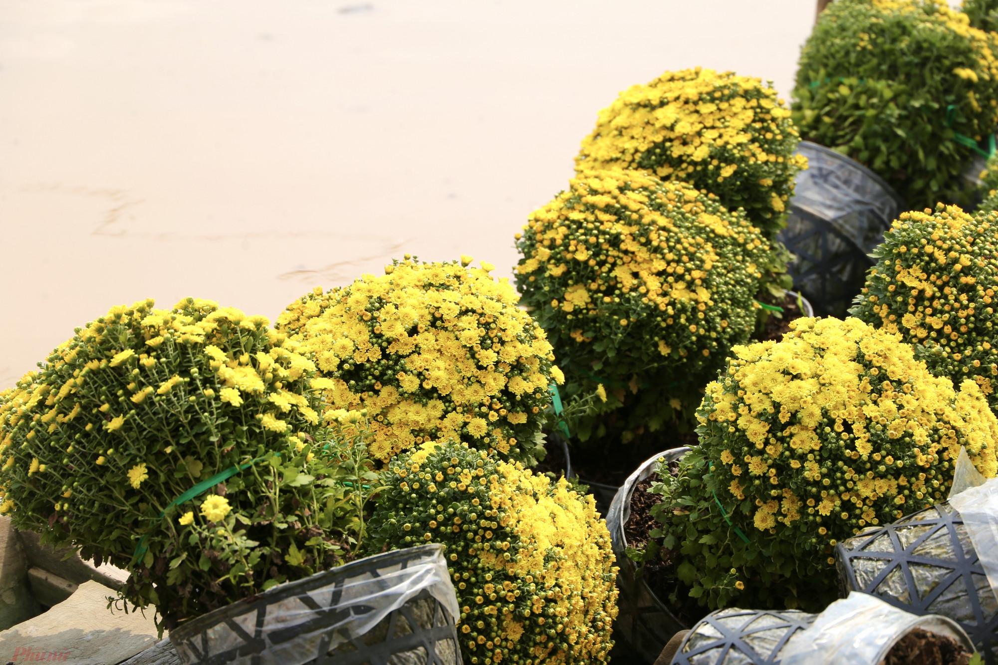 Là một trong những loại hoa Tết có giá đắt đỏ nhưng cúc mâm xôi vẫn được ưa chuộng vì sống bền, thường chưng được hơn 1 tháng. Ngoài ra, sắc vàng tươi cùng kiểu dáng đặc trưng của chúng cũng khiến người chơi hoa kiểng thích thú trong dịp năm mới.