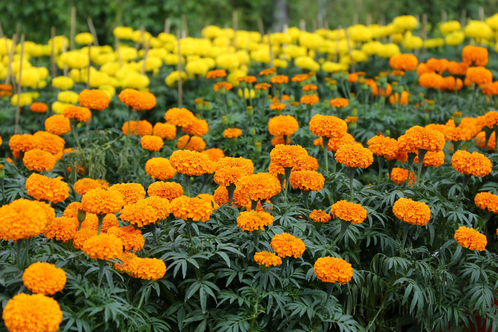 Hoa vạn thọ cũng được ưa chuộng trong ngày Tết. Mỗi hộ đều trồng hàng nghìn chậu vì hoa dễ chăm sóc. Giá hoa được thương lái mua tại vườn là 40.000 đồng/că. Người nông dân có thể lãi khoảng 10.000-15.000 đồng/cặp.
