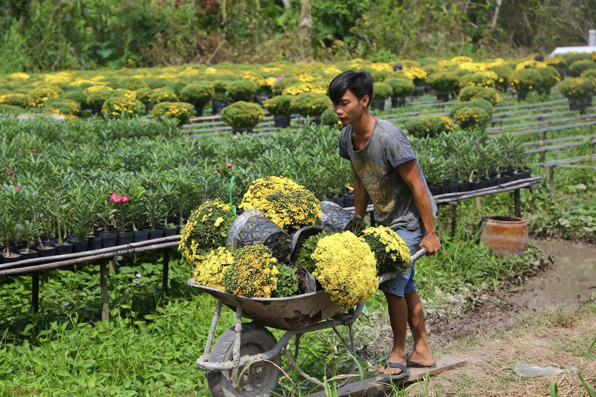 Giá cập nhật mới nhất của cúc mâm xôi mua sỉ tại giàn là 160.000 đồng/cặp. Một vài ngày trước có thời điểm loại hoa này tăng lên đến 200.000 đồng/cặp khi bán cho thương lái. Khi ra thị trường, giá hoa này lại tăng lên khá nhiều. Hiện tại, một số cửa hàng hoa tại TP.HCM rao bán với mức giá hơn 400.000 đồng/cặp. Năm ngoái, có lúc loại hoa này tăng lên đến gần 500.000 đồng/cặp loại nhất.