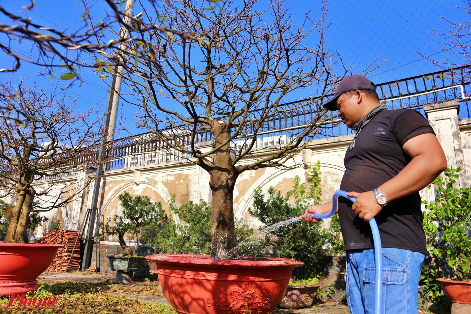 Vườn mai của anh Nguyễn Hồng Việt đa số đã được khách đặt hàng từ sớm. Năm nay giá mai cao hơn năm trước, vì thời tiết thuận lợi mai nở đúng dịp tết, còn năm ngoái thì mai nở sớm hơn.