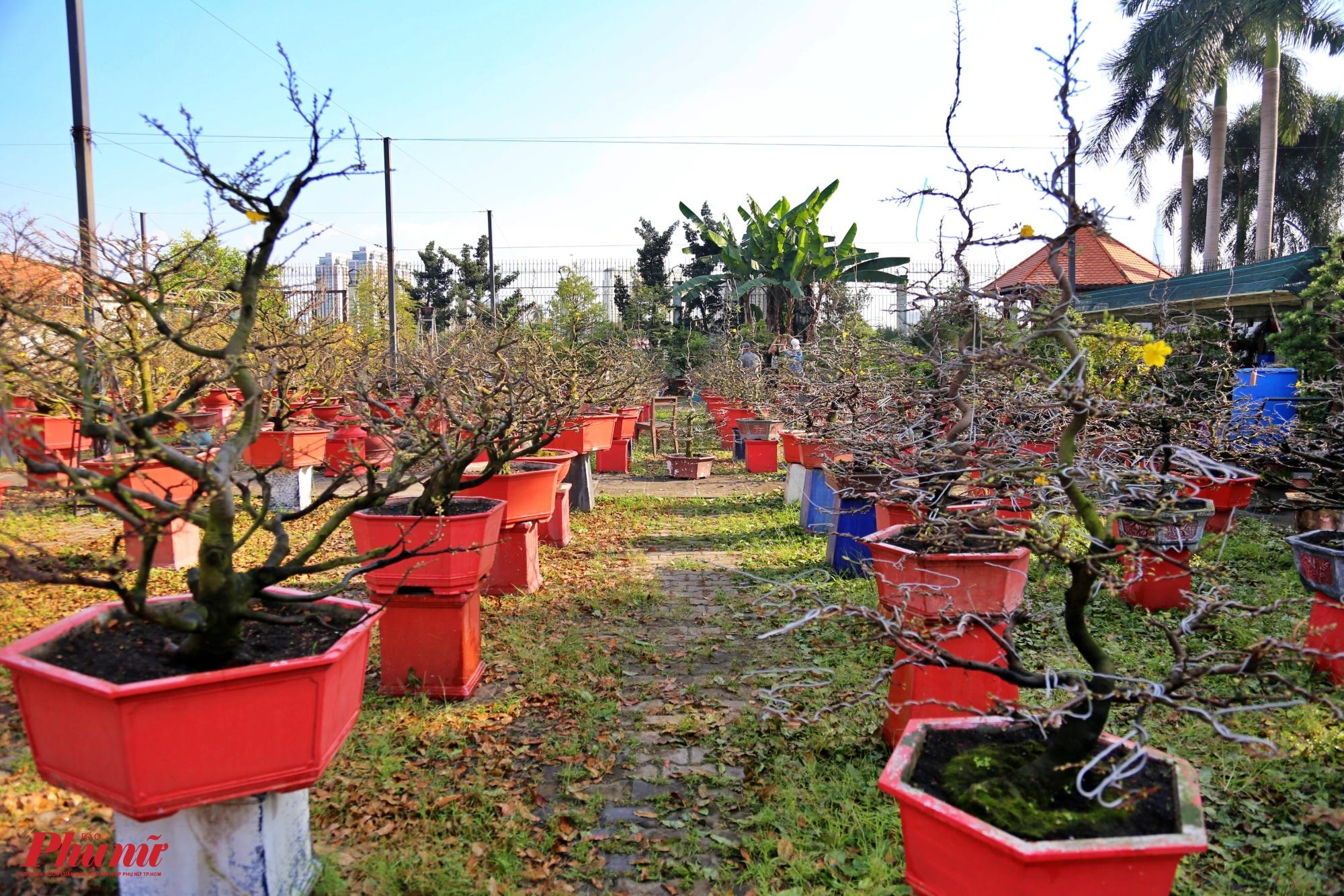 Anh Nguyễn Hồng Việt (chủ vườn mai ở Thủ Đức) cho biết, vườn mai của gia đình anh thuộc top những vườn mai khá độc đáo ở TPHCM. Dù chỉ với hơn 400 gốc mai nhưng cả năm gia đình phải tập trung chăm sóc khá vất vả và tốn nhiều công phu để tạo ra được những thế đẹp cho người dân chưng Tết.
