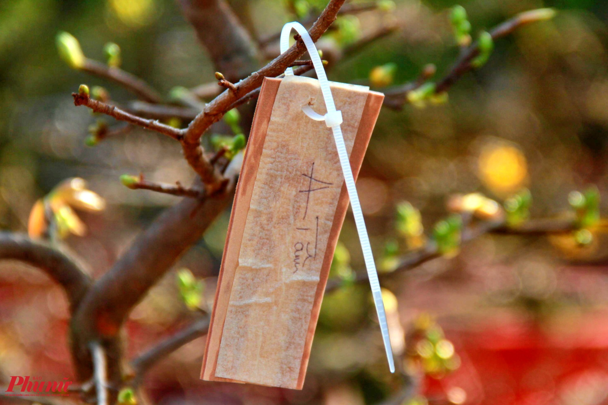 Một số cây mai đã được khách quen đặt thuê và dán tên để chơi trong dịp Tết.