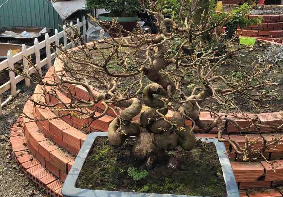 Một cây mai trắng ở huyện Phú Tân, tỉnh An Giang có dáng đẹp, đều búp, dự kiến sẽ nở rộ khi tham gia tranh giải tại Hội hoa xuân Tao Đàn