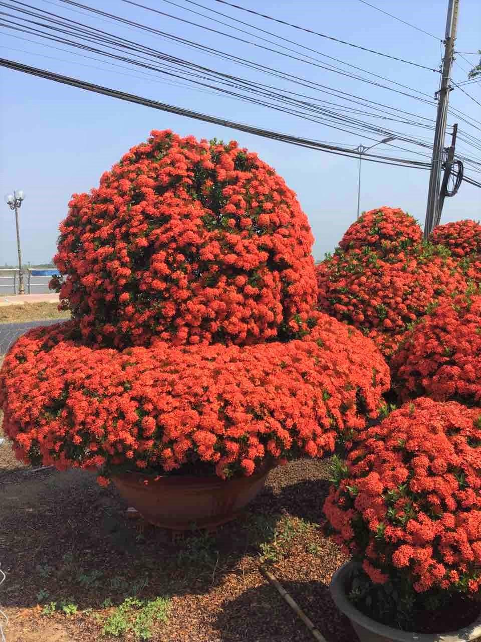 Những chậu hoa trang thái của một nghệ nhân ở huyện Lấp Vò, tỉnh Đồng Tháp chuẩn bị đưa lên Sài Gòn tham gia Hội hoa xuân