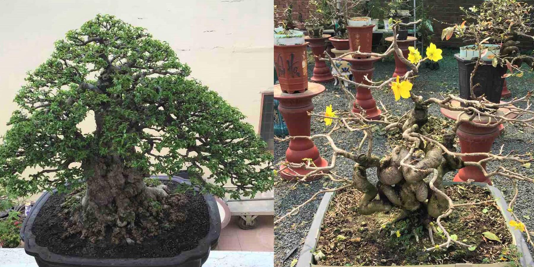 Một chậu mai vàng và một chậu mai chiếu thủy dáng dạng độc đáo ở An Giang được chọn đưa lên TP HCM để trưng bày trong Hội hoa xuân Tao Đàn. Ảnh: B.K