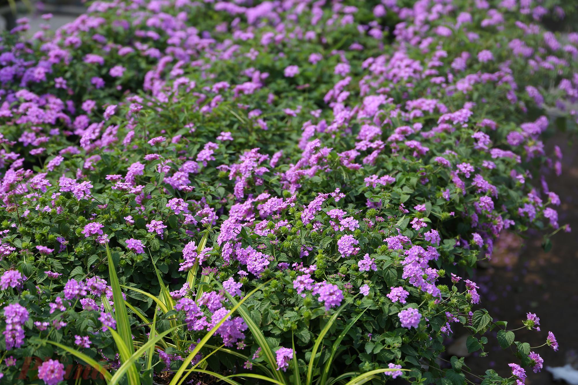 Giống hoa trâm ổi màu tím khiến nhiều du khách thích thú, dừng chân ngắm, chụp ảnh cùng.