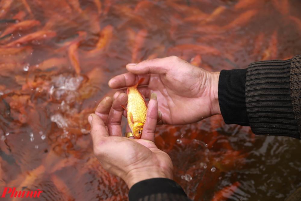 Với kinh nghiệm dày dặn trong chăn nuôi, cùng với sự hỗ trợ tích cực từ các phương tiên tiên tiến nên người tiêu dùng có thể hoàn toàn yên tâm vào chất lượng cá chép đỏ Thủy Trầm.