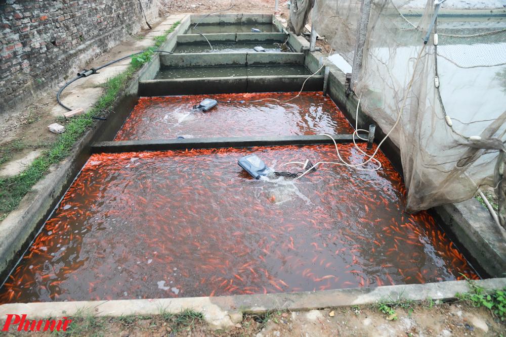 Cá chép đánh bắt xong sẽ được thả vào bể chứa để ép, không cho ăn nhằm giữ cho thân cá dẻo dai. Khoảng 2-3 ngày sau được giao bán tại chỗ cho các thương lái đã đặt hàng từ nhiều tháng trước.
