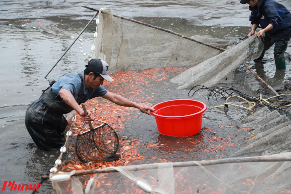 """Theo chú Nguyễn Danh Lan (Khu 3 Thủy Trầm) cho biết: """"Sản lượng cá chép tăng hơn so với năm ngoái nhưng giá thành không có nhiều thay đổi. Một số hộ đánh bắt xong vẫn chưa bán ngay mà đợi đến ngày 22 tháng Chạp để bán được giá tốt nhất."""""""