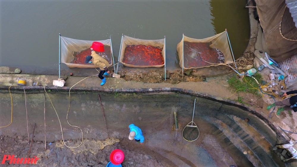 Mỗi ao cá chép đỏ ở đây có diện tích trung bình một sào (360m2) cho thu hoạch khoảng 25-40kg cá chép đỏ.