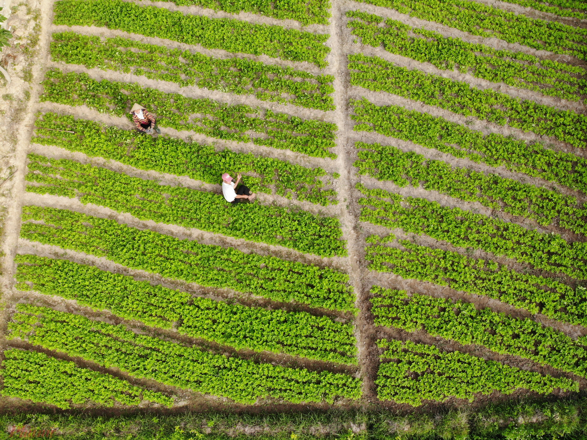 Nông dân ở làng ly hương vẫn tất bật với ruộng đồng khi Tết đã cận kề.