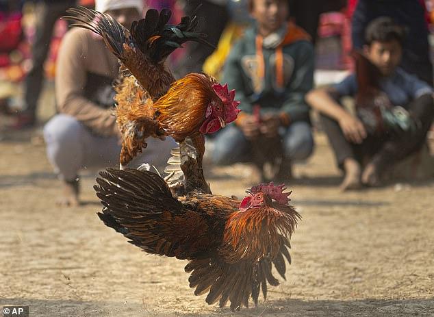 Tòa án Tối cao Ấn Độ cấm việc tổ chức những trận đấu gà, nhưng người dân vẫn thường tổ chức đá gà như một hoạt động lễ nghi truyền thống.