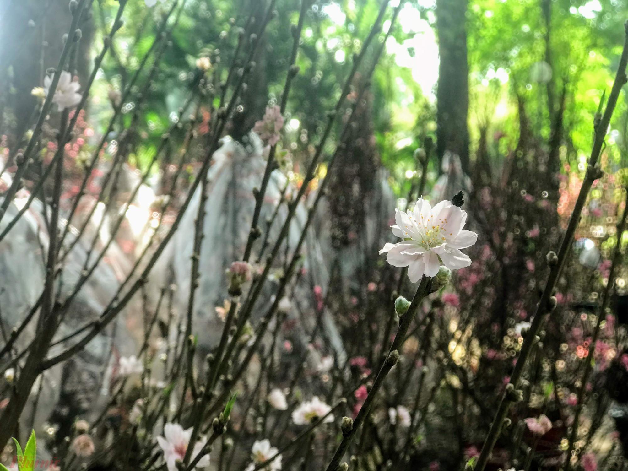 Các đầu mối đưa khá nhiều giống đào khác nhau vè Sài Gòn, từ bích đào, bạch đào, đào phai đến cả những giống đào rừng...