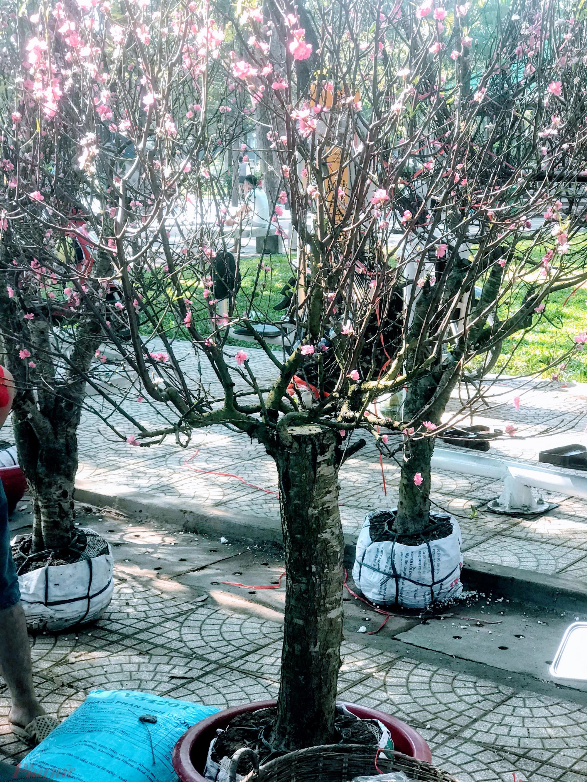 Dù vậy, nhiều cây đào hoa đã bung nở
