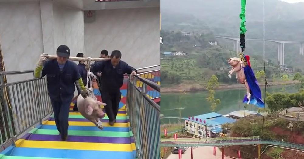 Chú heo nặng 75kg bị vác lên đỉnh tháp rồi thả xuống ở độ cao khoảng 70m.