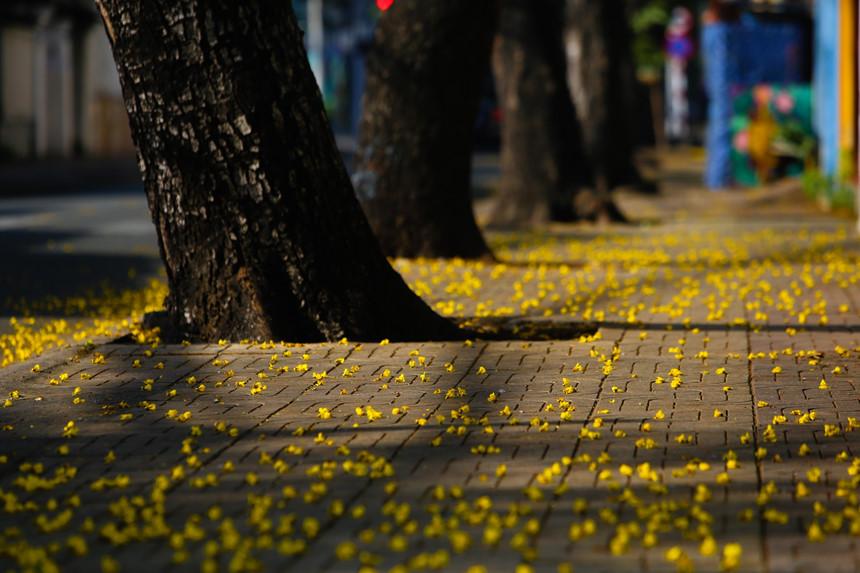Những gốc cây lim xẹt cho Sài Gòn cái tết thêm vắng lặng, mơ màng