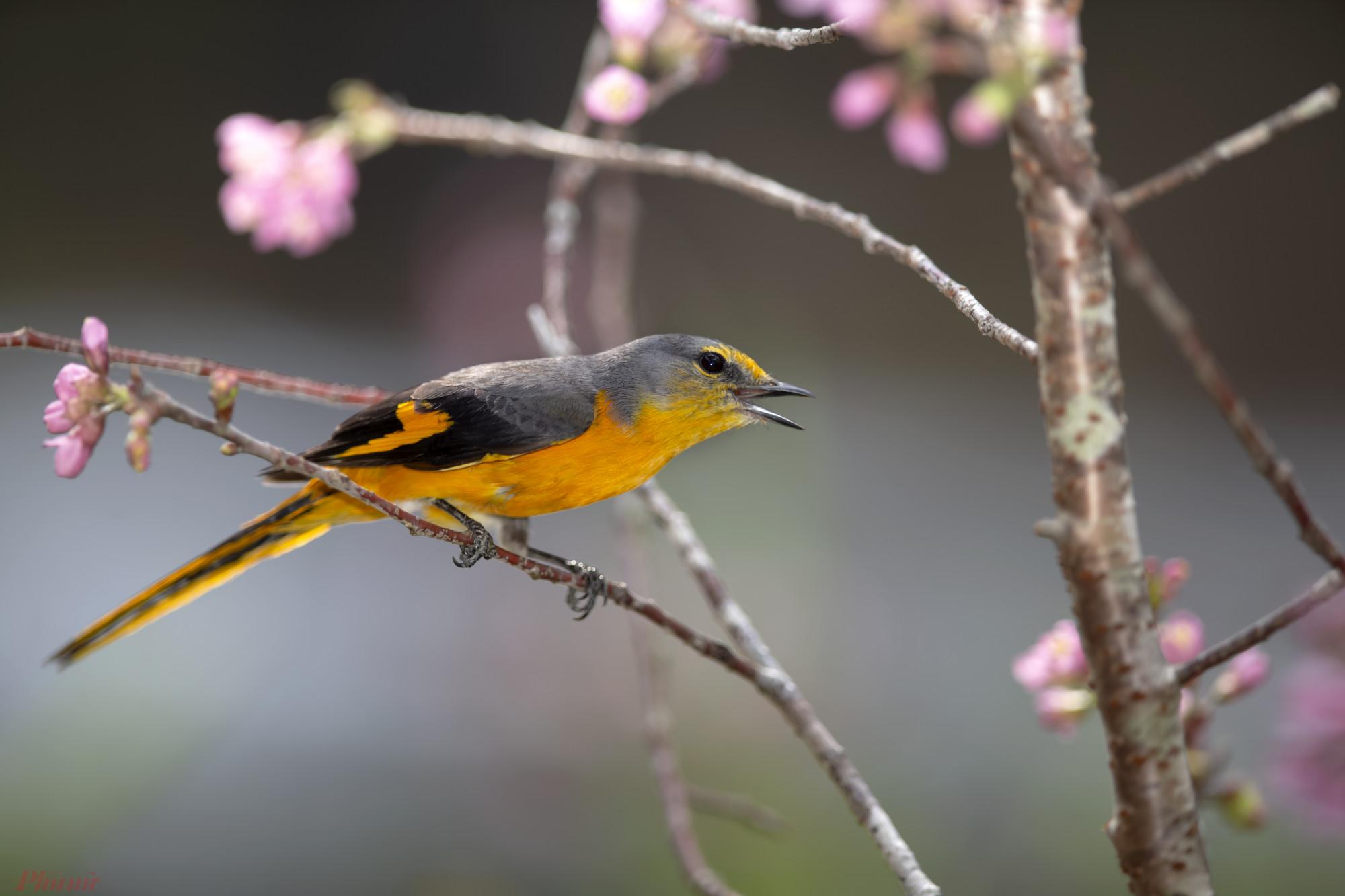 Các con chim lạ xuất hiện bên hoa đào chủ yếu là chim hút mật. Hiếm hoi mới có một con chim hoàng tước lọt vào ống kính của các tay săn ảnh.