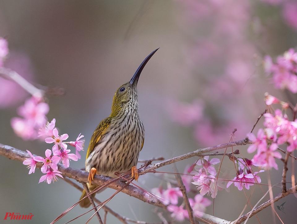 Một con chim hút mật có chiếc mỏ dài khá lạ như đang quan sát để tìm cách tiếp cận ''mục tiêu