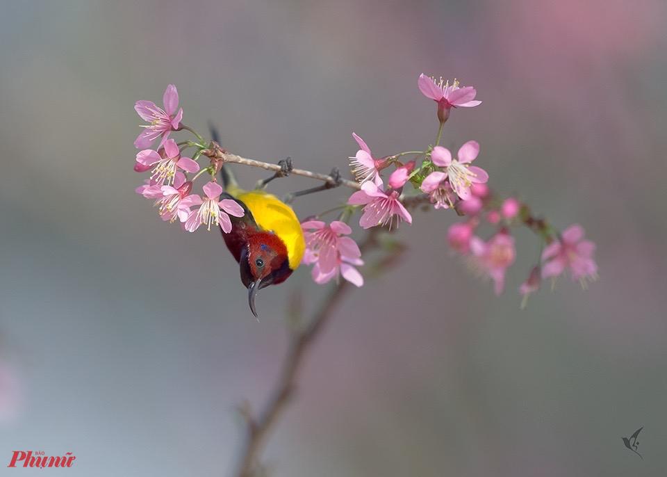 Một chú chim hút mật bụng vàng như ''làm xiếc'' bên nhánh hoa đào để tạo sự ''chú ý