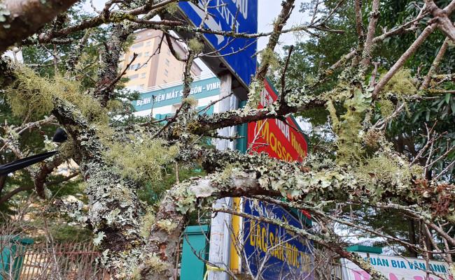 <p>Đào trên núi càng to, già, xù xì, gân guốc, lắm rêu lại càng có giá</p>