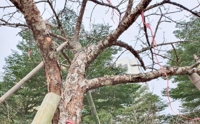 """<p>""""Nay ở mấy huyện miền núi Nghệ An đâu còn đào rừng lớn nữa, hầu hết thương lái đã bắt đầu chuyển sang Lào săn tìm đào rừng rồi"""" - anh Phương nói</p>"""