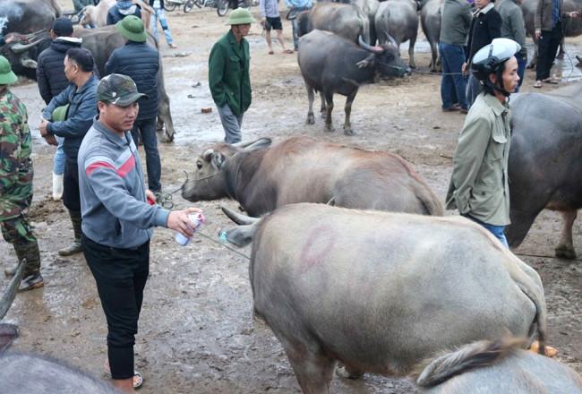<p>Sau khi giao dịch tìm chủ mới thành công, những con trâu, bò sẽ được đánh số hoặc ký hiệu đã bán lên thân.</p>
