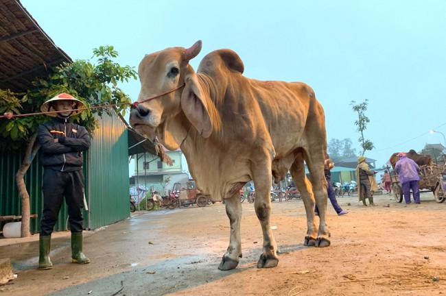 <p>Trâu bò ở chợ Ú sẽ được chuyển đi khắp cả nước sau khi kết thúc phiên chợ. Đối với những con trâu, bò gầy, ốm yếu sẽ được một số tay buôn đưa về vỗ béo để chờ phiên giao dịch sau.</p>