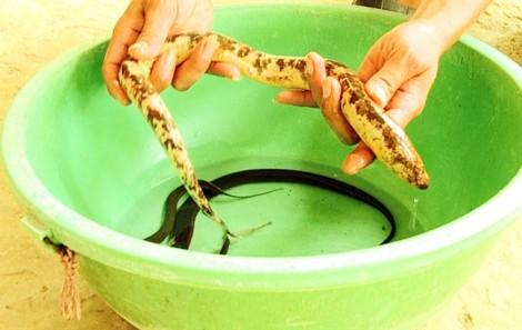 Nông dân miền Tây bắt được con lươn có màu sắc kỳ lạ