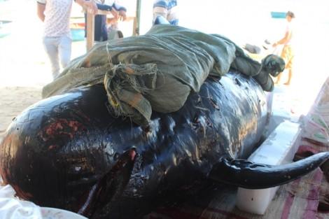 Cá Ông bị thương dạt vào biển Quảng Ngãi