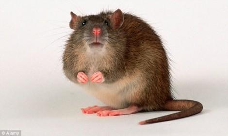 Nhà khoa học gốc Việt biến tim chuột thành tim người