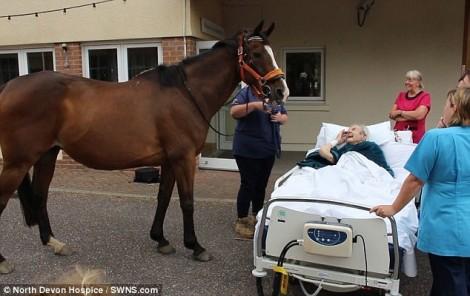Cụ ông yêu ngựa thanh thản ra đi sau khi cho ngựa ăn lần cuối