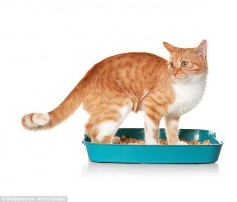 Tại sao phân mèo có thể gây ung thư?