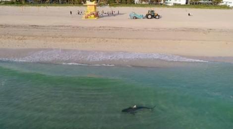 Du khách tại Miami 'chết hụt' khi vô tình bơi cùng cá mập