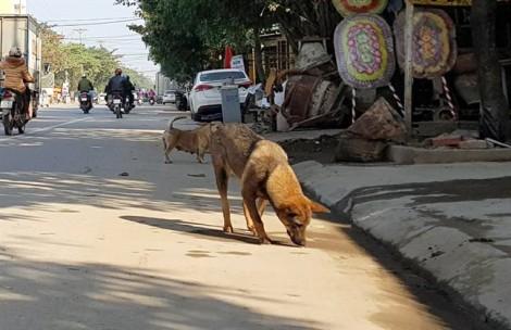 Nghệ An lập các đội bắt chó thả rông