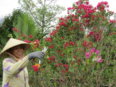 Người trồng hoa giấy lạc quan trước tin đồn thất thiệt