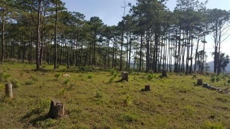 Sau Chủ tịch xã, chủ rừng khai thác gỗ thông bị tạm giam