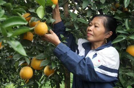 Những vườn cam bạc tỷ ở thủ phủ cam Vinh