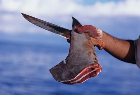 Sự tàn nhẫn đằng sau chén súp vi cá mập đắt hàng vào dịp Tết Nguyên đán