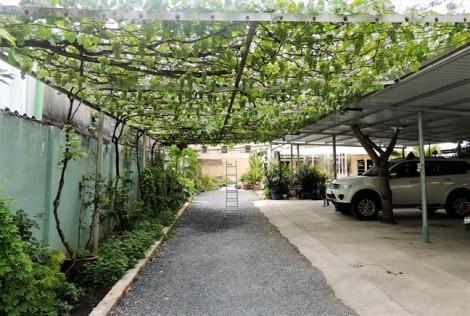 Cận cảnh vườn nho thu hoạch vài trăm triệu đồng/năm giữa Sài Gòn