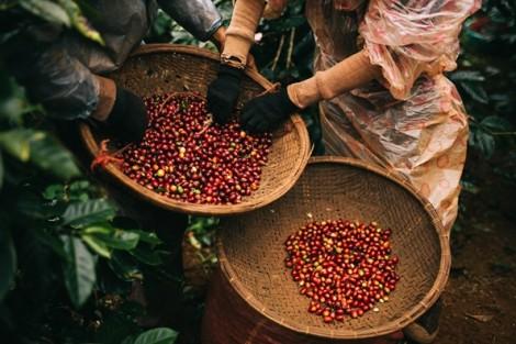 Cà phê đặc sản Việt Nam quyết chiến thị trường thế giới