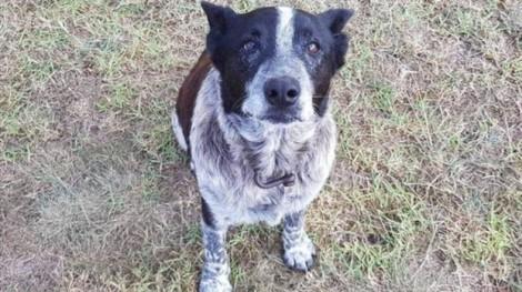 Chú chó già quyết không bỏ rơi bé gái 3 tuổi đi lạc trên núi