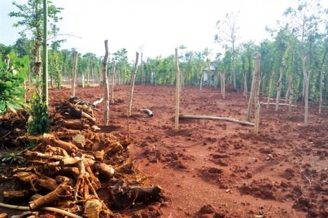 Cảnh báo thương lái Trung Quốc thu mua rễ hồ tiêu: Có dấu hiệu bất thường