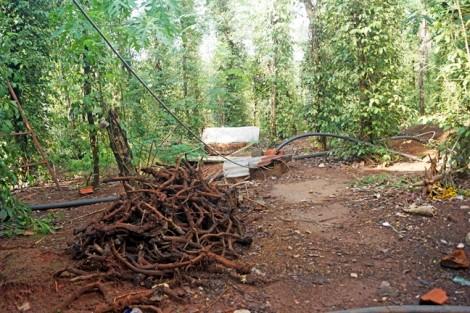 Thu mua rễ là hoạt động phá hoại ngành hồ tiêu