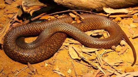 Bé trai bị rắn độc cắn 2 lần trong 8 ngày
