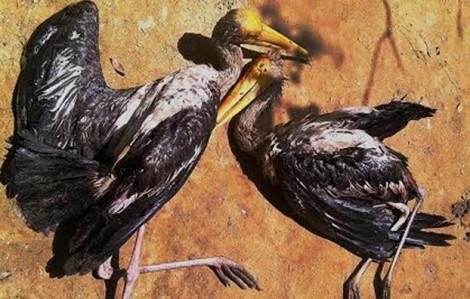 Video clip 'địa ngục chim trời' lớn nhất miền Tây