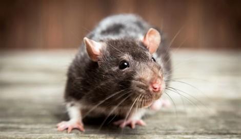 Ngoài viêm gan E, chuột là 'tác giả' của 8 bệnh nguy hiểm khác