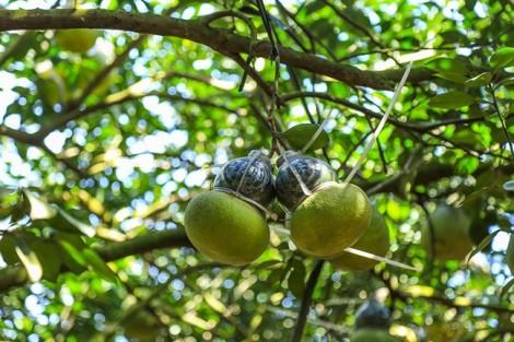 Tung ra hơn 8.000 trái bưởi tạo hình độc, lạ dịp tết Kỷ Hợi