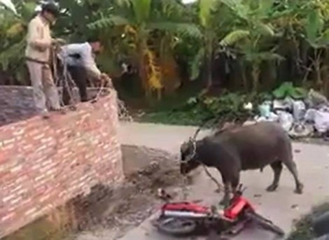 Hai con trâu nhà tấn công chủ nuôi tử vong