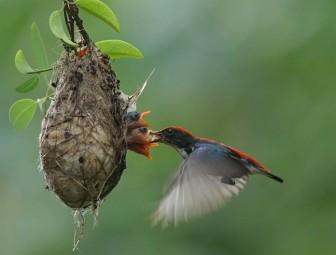 Chuyện Sài Gòn từ những chú chim non gặp nạn