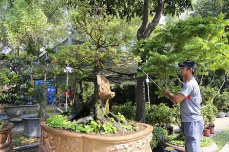 Cây khế hình con heo giá nửa tỷ đồng ở Sài Gòn